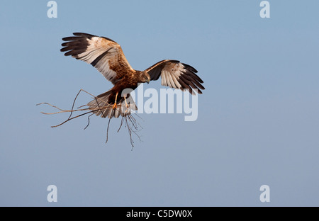 Low angle view of Marsh Harrier with nest in flight against clear blue sky - Stock Photo