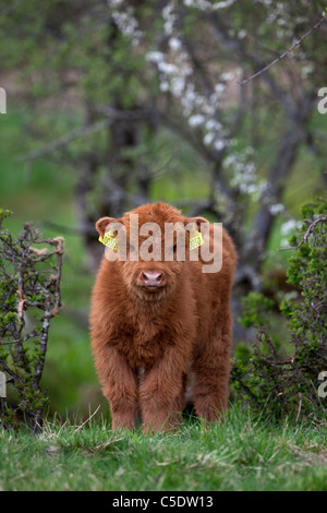 Portrait of a Highland Cattle calf on grass against blurred tree trunks - Stock Photo