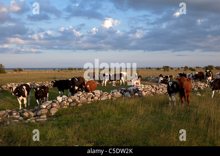View of cows on the meadow against clouds - Stock Photo