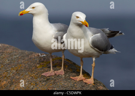 Close-up of two Herring gulls standing on rock and looking away against blurred background - Stock Photo