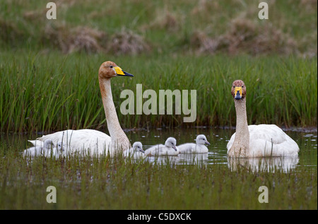 Two whooper swans with newborn cubs in water against long grass - Stock Photo