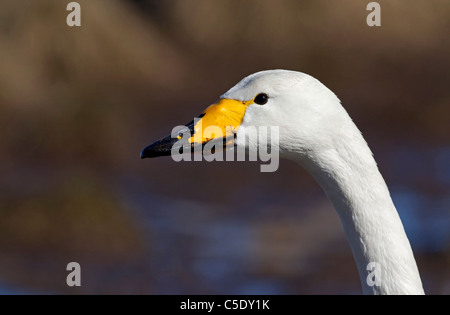 Close-up side shot of a whooper swan against blurred background - Stock Photo