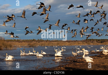 View of cranes and whooper swans in flight at Hornborgasjön river against sky - Stock Photo
