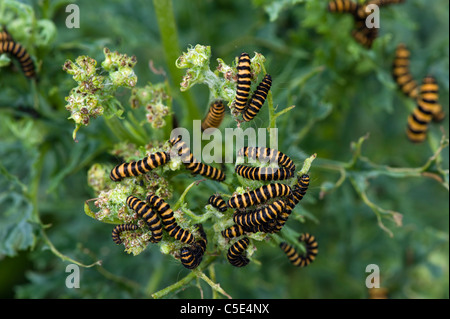 Cinnabar moth (Tyria jacobaeae) caterpillars on Ragwort plants - Stock Photo