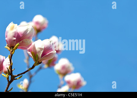 Close-up of beautiful blooming magnolia against blue sky - Stock Photo