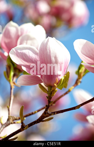 Close-up of beautiful blooming magnolia - Stock Photo