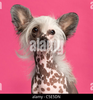 Chinese Crested Dog in front of pink background - Stock Photo