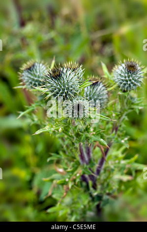 Cirsium arvense - creeping thistles - Stock Photo