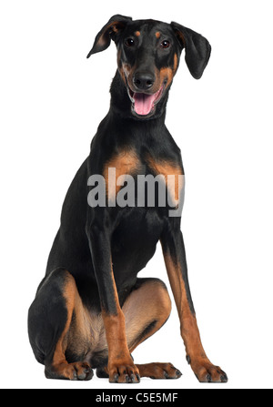 Doberman Pinscher, 8 and a half months old, sitting in front of white background - Stock Photo
