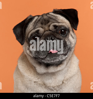 Pug, 2 and a half years old, in front of orange background - Stock Photo