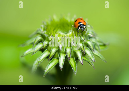 Close-up image of a Seven-spot Ladybird - Coccinella septempunctata on the bud of a purple coneflower - Echinacea - Stock Photo
