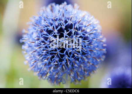 Echinops ritro veitchs. Globe thistle flowers in an English garden - Stock Photo
