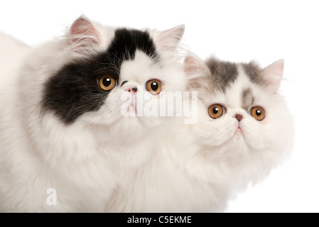 Persian cats, 6 months old, in front of white background - Stock Photo