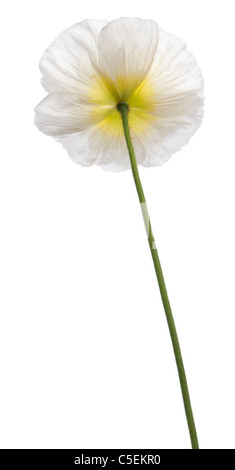 White Alpine poppy, Papaver alpinum, in front of white background - Stock Photo