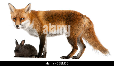 Red Fox, Vulpes vulpes, 4 years old, playing with a rabbit in front of a white background