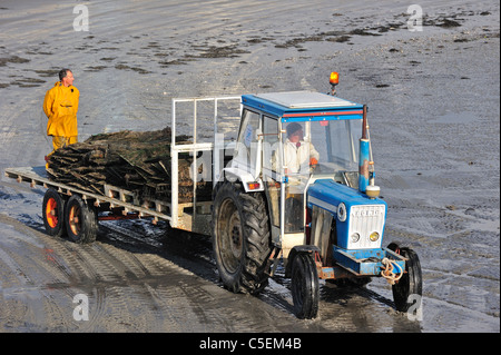 Tractor on beach returning with cultivated oysters from oyster bank / park at Saint-Vaast-la-Hougue, Normandy, France - Stock Photo
