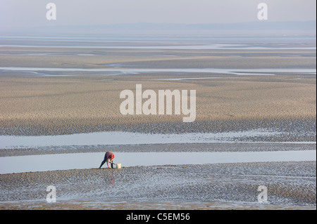 Man, equipped with clamming rake and bucket, digging for clams in the tidal mud flats of the Bay of the Somme, Picardy, - Stock Photo