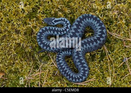 Common European adder / viper (Vipera berus) curled up in striking pose, grey color phase, Sweden - Stock Photo