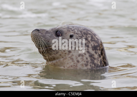 Common Seal / harbour seal (Phoca vitulina) close-up of head in water - Stock Photo