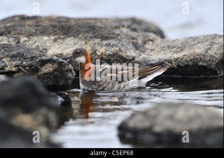 Red-necked Phalarope, Phalaropus lobatus, Loch of Funzie, Fetlar, Shetland Islands, Scotland - Stock Photo