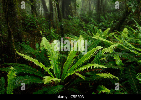 Rain forest ferns and trees in green Whataroa West Coast South Island New Zealand - Stock Photo