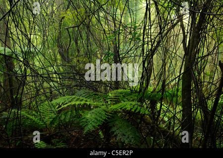 Rain forest ferns and vines in green Whataroa West Coast South Island New Zealand - Stock Photo