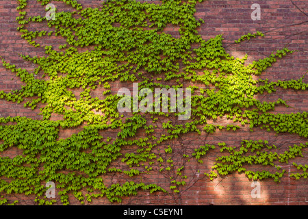 Ivy climbs on a wall in patches of morning sunlight. - Stock Photo