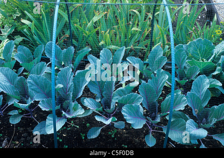 Cabbage Plants Protected By Metal Frame And Netting Bird Protection  Cabbages Net Nets Garden Frames Leaf