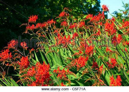 Montbretia Crocosmia x crocosmiiflora 'Lucifer' in flower in the summer - Stock Photo