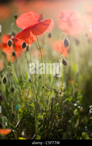 Papaver rhoeas (common names incl (common names include corn poppy, corn rose, field poppy, Flanders poppy, red - Stock Photo