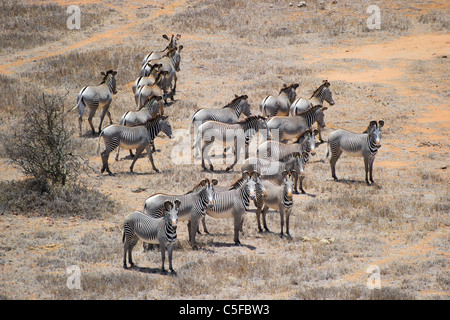 Aerial view of Grevy's zebra (Equus grevyi) in Kenya - Stock Photo