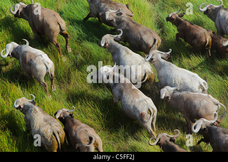 Aerial view of Cape Buffalo (Syncerus caffer) in Kenya. - Stock Photo