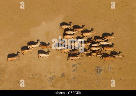 Aerial view of Camels(Camelus dromedarius) in the Chalbi Desert. Kenya