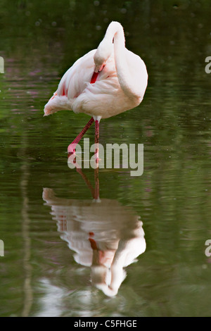 Single flamingo in water with reflection - Stock Photo