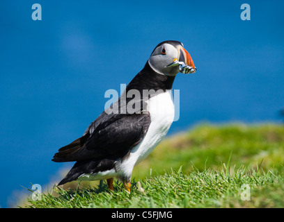 Puffin with fish for young, Fratercula arctica, UK.