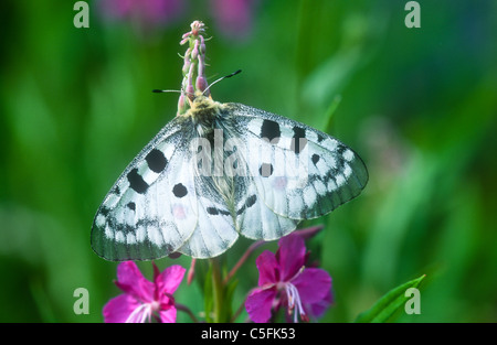 Apollo butterfly, Parnassius apollo, Gran Paradiso National Park, Italy - Stock Photo