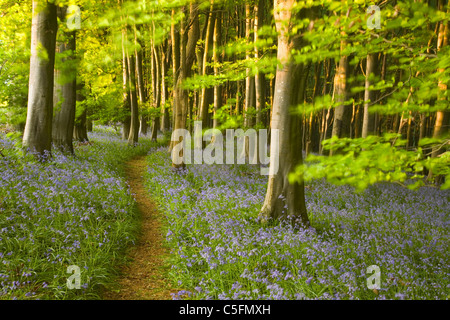 Path through bluebells (Hyacinthoides non-scripta) in beech (Fagus sp.) woodland. Spring. Priors Wood. Somerset. - Stock Photo