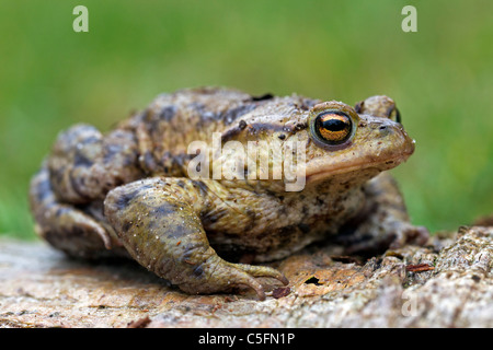 Common Toad, European Toad (Bufo bufo) in spring, Germany - Stock Photo
