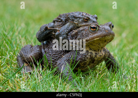 Common Toad / European Toad (Bufo bufo) pair migrating in amplexus to breeding pond in spring, Germany - Stock Photo