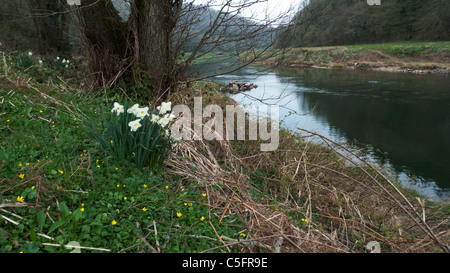 Daffodils and wildflowers in spring along the River Wye Gloucestershire England UK - Stock Photo