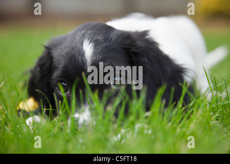 A cute purebred black and white English Springer Spaniel puppy dog with puppy eyes looking through grass lying down - Stock Photo