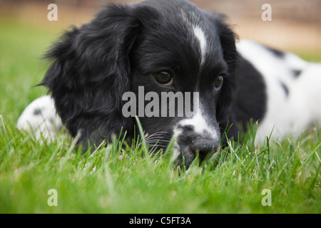A purebred ten week black and white English Springer Spaniel (Canis lupus familiaris) puppy dog lying down on grass - Stock Photo