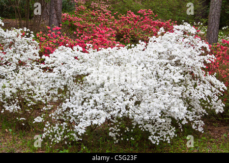 Azaleas in Azalea Overlook Garden at Callaway Gardens - Stock Photo