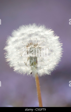 Dandelion Seed Head Taraxacum officinale Kent UK - Stock Photo