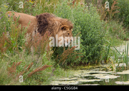 Lion male Panthera leo with large shaggy mane in thick undergrowth near stream taken under controlled conditions - Stock Photo