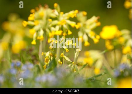 Cowslip Primula veris Park Gate Down UK - Stock Photo