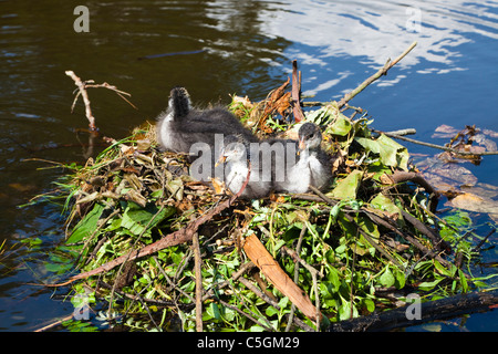 Three coot chicks on a nest of twigs and leaves, Vondel Park, Amsterdam - Stock Photo