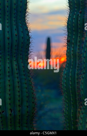 Saguaro cactus at sunset in Organ Pipe National Monument, Arizona, USA - Stock Photo