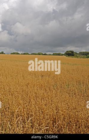 Field of wheat crop against a dark stormy sky in near Arundel West Sussex UK - Stock Photo