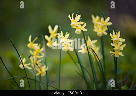 Close-up of the spring flowering Narcissus 'Hawera' - Daffodil flowers - Stock Photo